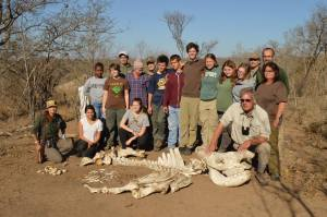 Our students reassembled a rhino skeleton in the bush, with the help of Dr. Perakis.