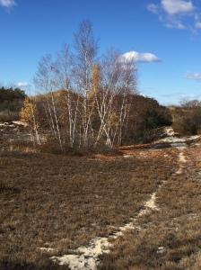 White birch grove and trail